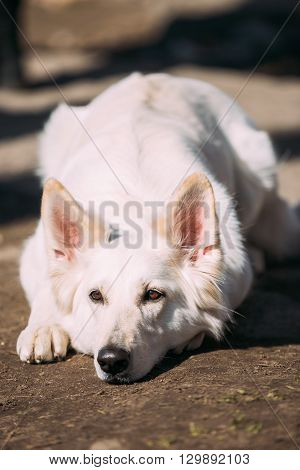 Close Up White Swiss Shepherd Dog Berger Blanc Suisse. The Berger Blanc Suisse is a breed of dog from Switzerland.