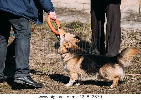 Funny Welsh Corgi Dog Play Outdoor. The Welsh Corgi Is A Small Type Of Herding Dog That Originated In Wales.