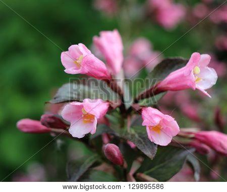 The dark purple leaved Weigela atropurpurea 'Nana', which produces bright pink flowers.