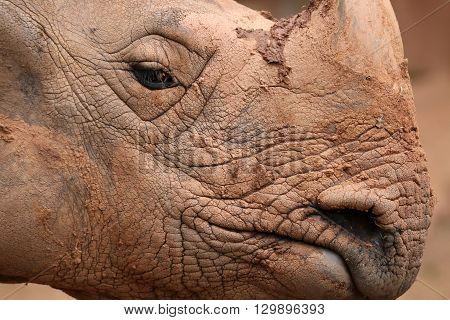 A Great Indian Rhinoceros (Rhinoceros unicornis) closeup