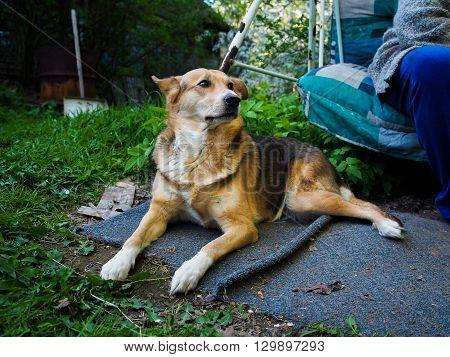 A dog on a summer cottage. Summer heat. Dog guard