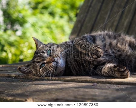 Big gray striped cat lying. Portrait of a beautiful cat in the nature. Summer, the heat, the cat is happy