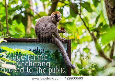 Lemur On A Sign Board In The Masoala Hall