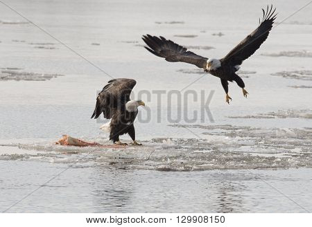 Bald Eagles Fight Over Fish