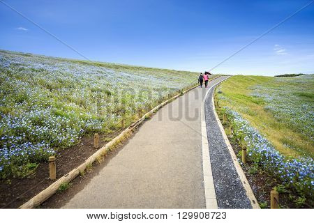 The imageing of Mountain Tree and Nemophila at Hitachi Seaside Park in spring with blue sky at Ibaraki Japan poster