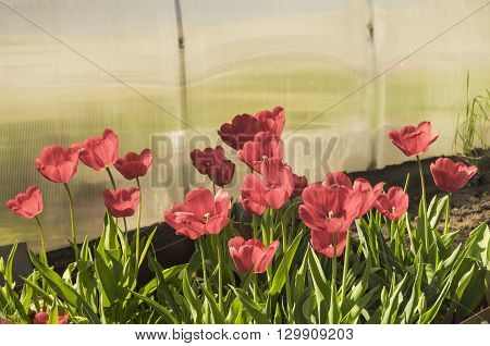 Red tulips with green sheet grow on land outdoors
