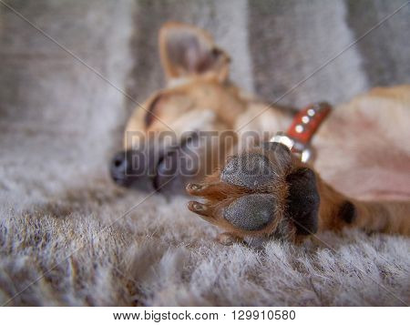 a puppy sleeping on a furry blanket with his paw in front of his face (VERY SHALLOW DOF)