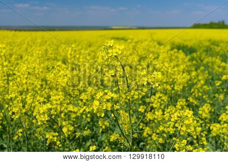 May landscape with flowering rape-seed field located in central Ukraine