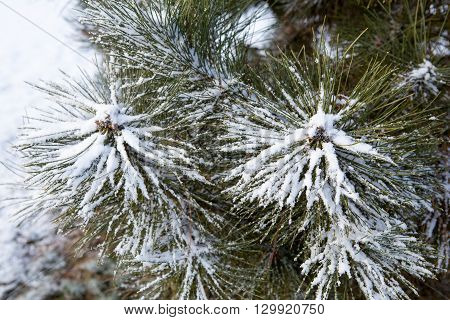 Pine branches covered with hoarfrost, wintry landscape