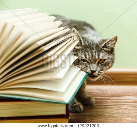 The British Grey Cat is Biting Open Book,Funny Pet on the Wood Floor