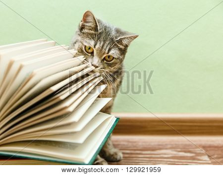 The British Grey Cat is Smelling Open Book,Funny Pet on the Wood Floor