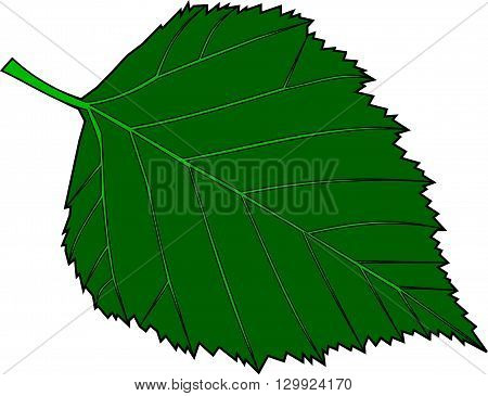 birch ,Betula verrucosa ,isolated birch leaf ,