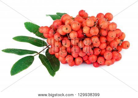 Red rowan berry with leaves on white
