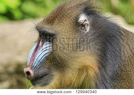 Mandrill (Mandrillus sphinx) looking for food close-up