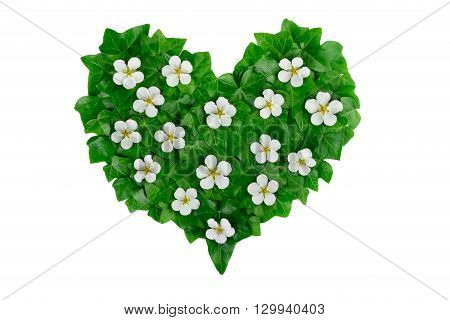Green heart pattern made of ivy leaves and white flowers. Creative natural arrangement made of green ivy leaves.