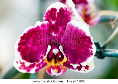 Close-up of orchid flowers over light background