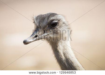 Portrait Of A Commno Ostrich