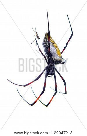Couple of giant banana spiders Nephila madagascariensis mating on white background poster