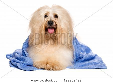 Beautiful happy reddish havanese dog after bath is lying wrapped in a blue towel and looking at camera isolated on white background