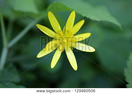 Flower of the Lesser Celandine Ficaria verna