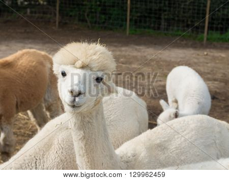 curious white alpacaon a farm eating grass