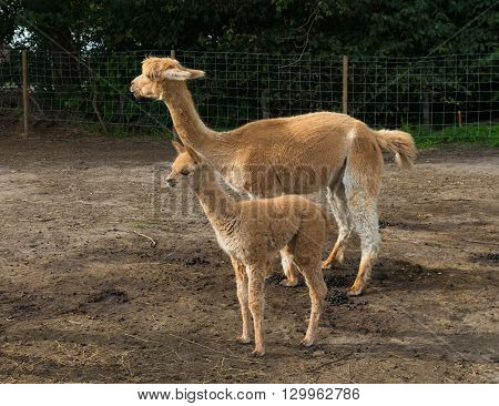 young alpaca with mother on a farm