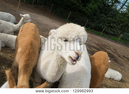 curious brown and white alpacas eating grass