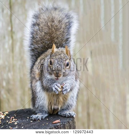 A squirrel sitting on a stump feasting on peanuts and seeds.