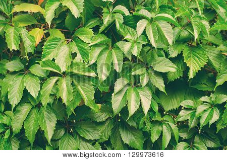 Green wild grapes leaves background on the wall