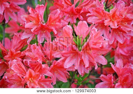 Azalea (rhododendron Molle. Blume)