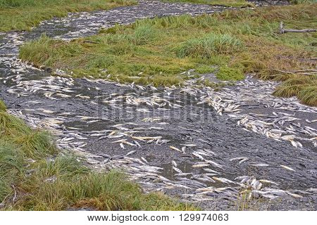 Dead and Dying Salmon in a Spawning Stream near Valdez Alaska