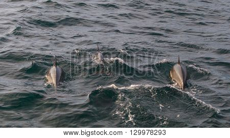 A pod of short beaked common dolphin Delphinus jumps and swims in front of a boat off the coast of Balboa Island in the Pacific Ocean