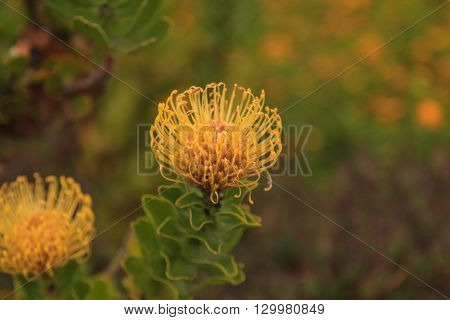 Yellow pincushion protea Leucospermum cordifolium is a flowering shrub that is drought tolerant and found in South Africa.