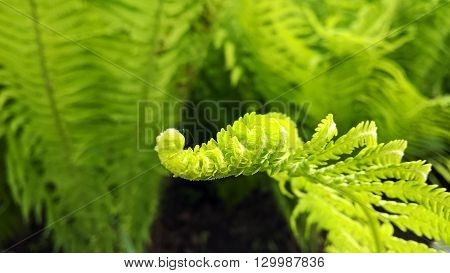 Close-up of a curved green leaf of the fern
