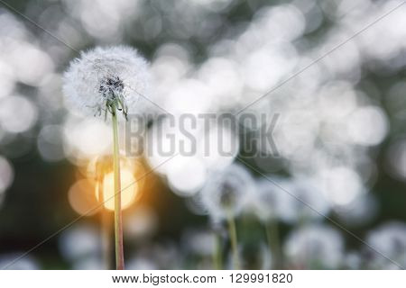 Dandelion seed head with the setting sun, soft focus, dreamy image, shallow focus