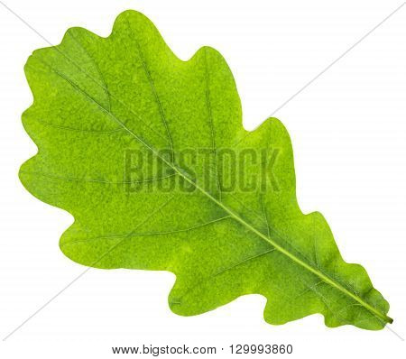 Oak leaf isolated on white. Clipping Path included.