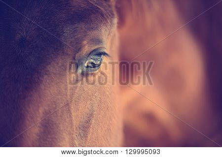 Close up eye of Arabian bay horse