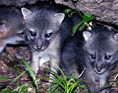 little foxes huddle beneath a fallen tree trunk in texas. poster