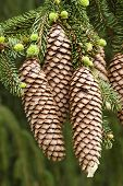Norway spruce tree with green buds and cones Picea abies poster