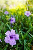 Purple flowers or Ruellia tuberosa Linn Waterkanon Watrakanu Minnieroot Iron root Feverroot Popping pod Toi ting (thai name). poster