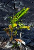 New vegetation near Kalapana lava flow Puna district Big Island poster