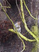 grey squirrel resting on a branch of a tree. poster
