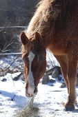 american bashkir curly mare enjoying a bite of hay. she is also a missouri fox trotter. poster