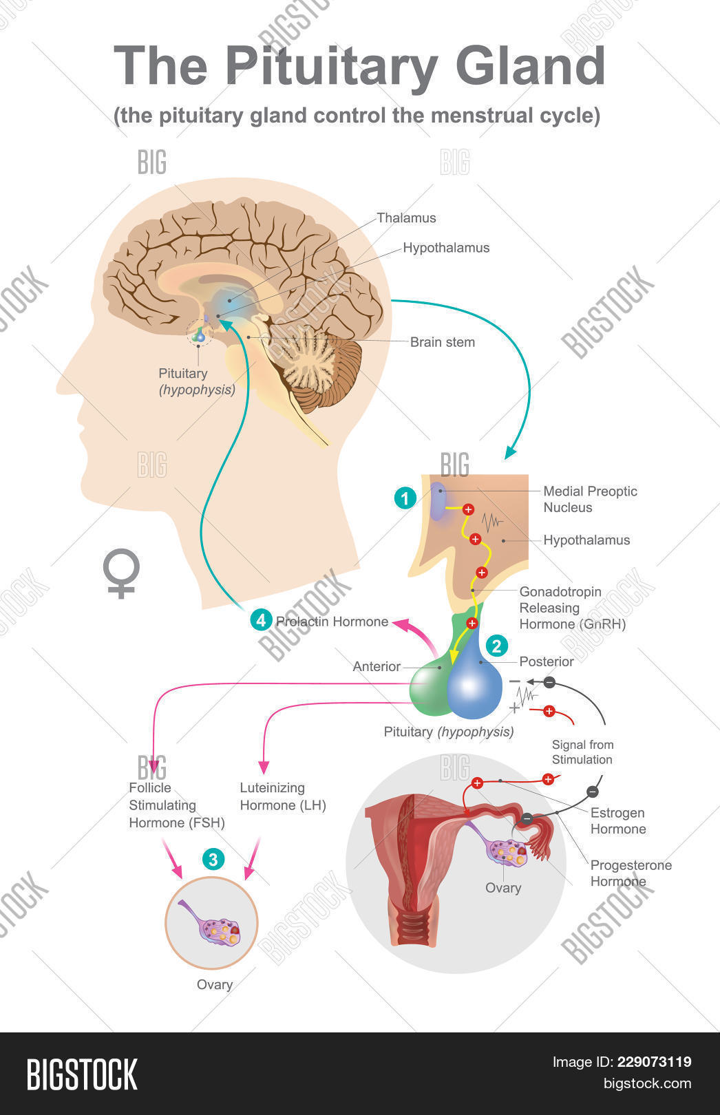 Pituitary Gland. Image & Photo (Free Trial) | Bigstock