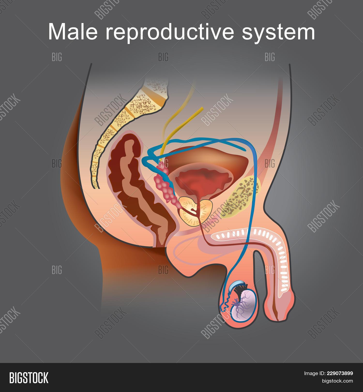 Male Reproductive Image & Photo (Free Trial) | Bigstock