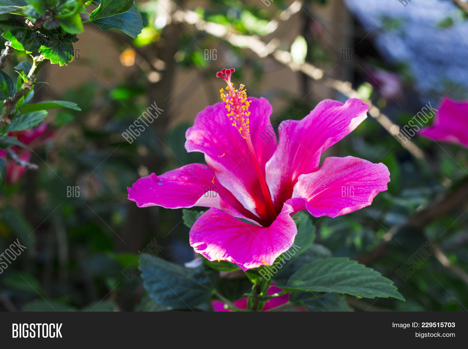 Pink Hibiscus Flower Image Photo Free Trial Bigstock