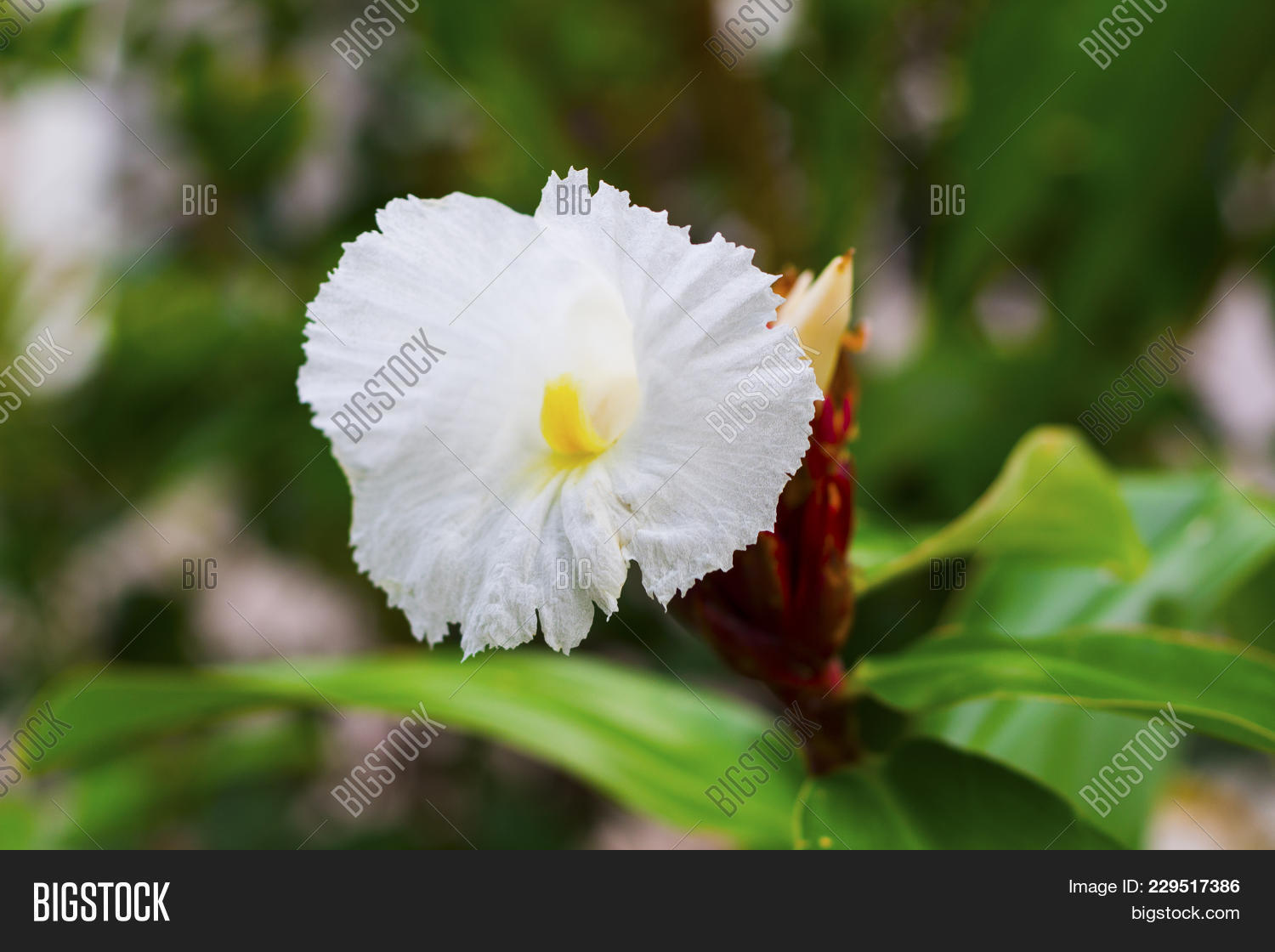 White Tropical Flower Image Photo Free Trial Bigstock