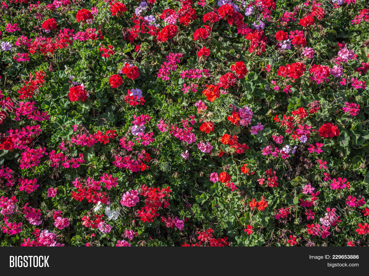 Pink Flowers On Bush Image Photo Free Trial Bigstock
