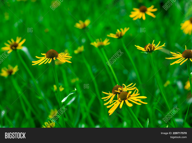 Yellow Flower Garden Image Photo Free Trial Bigstock