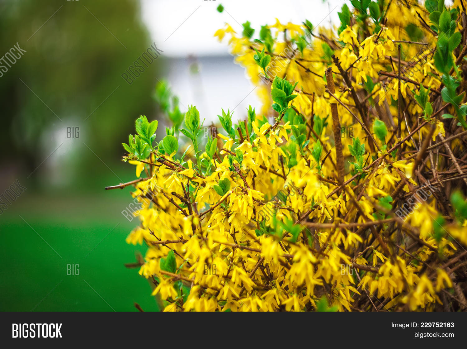 Ellow Forsythia Bush Image Photo Free Trial Bigstock